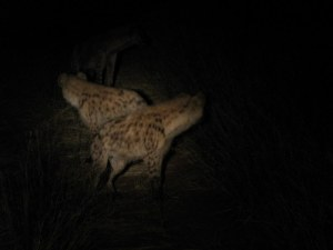 Hyenas are gorgeous and mysterious creatures, with a cool call.